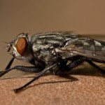 Flies or the most irritating pests