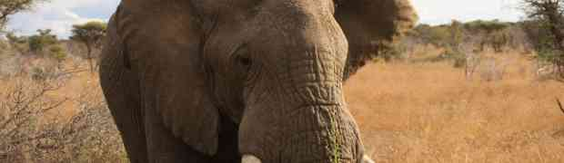 Rhinos and elephants an ingenious plan to save them
