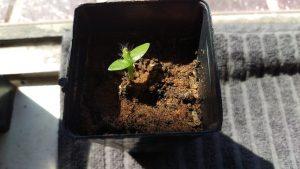 6 week old Pitaya seedling